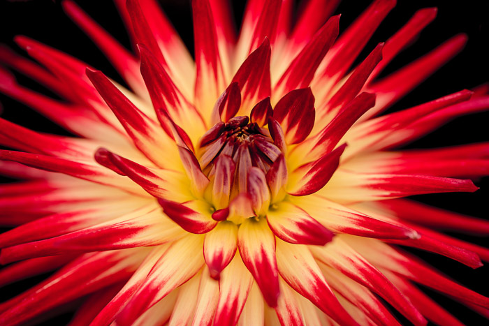 A close up flower photography shot of the center of a yellow and red flower