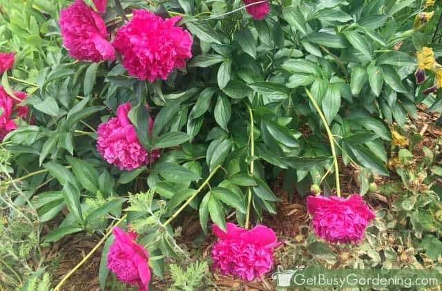 Hot pink peonies falling over before adding plant supports