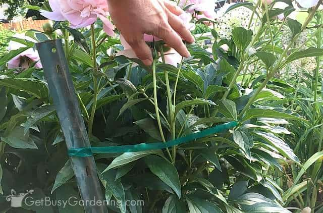 Tie up peonies using plastic plant ties and stakes