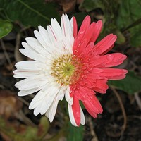 Gerbera with pink and white ray florets
