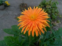Orange Gerbera in a pot on a sunny terrace, Calcutta