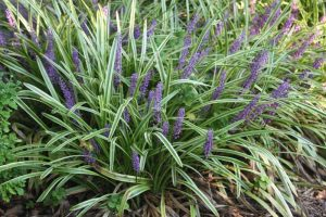 Lilyturf Ornamental Grass
