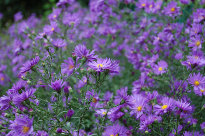 Autumn purple flowers