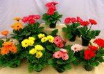 Герберы виды – как выглядят, лучшие виды, история происхождения цветка