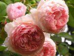 Английская роза фото сорта – Английские розы – самый полный каталог сортов с описанием и фото