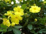 Жасмин желтый кустарниковый – —